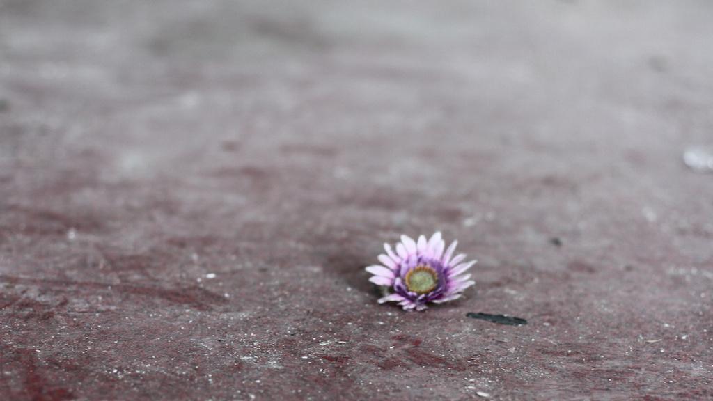 Blüte einer Marguerite liegt auf Asphalt