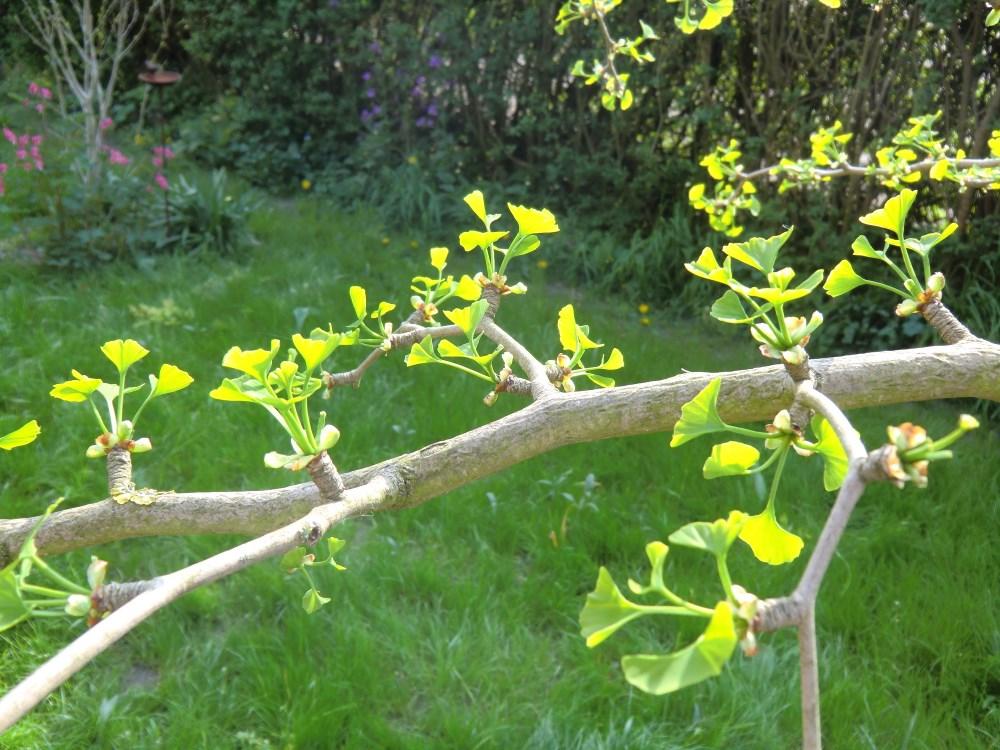 ein Gingko-Ast mit austreibenden Blättern