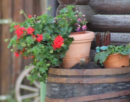eine Geranie im Blumentopf auf einem Fass an der Ecke eines Holzhauses